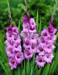 Gladiolus 'Ambiance'