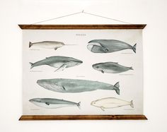 Whales A3 Canvas poster - vintage educational chart illustration - home decor