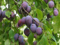 Buy Plum - Prunus domestica 'Marjorie's Seedling' online from Jacksons Nurseries Childrens Gardening Tools, Starting A Vegetable Garden, Garden In The Woods, Prunus, Types Of Soil, Garden Table, Fruit Trees, Colorful Flowers, Plum