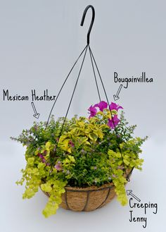 Sunny hanging basket container combo witht bougainvillea, mexican heather & creeping jenny