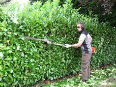 Leptospermum Fore Shore hedge (like a native box) - Plants to ...