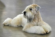 Soft-Coated Wheaten Terrier by Tex Pet, via Flickr