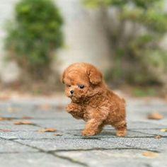 chenji    married - 10 - Halaman 2 - Wattpad Cute Baby Puppies, Cute Animals Puppies, Super Cute Puppies, Baby Animals Super Cute, Teddy Bear Puppies, Cavapoo Puppies, Small Cute Puppies, Teddy Bear Poodle, Cute Fluffy Puppies