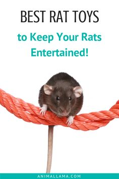 Keep your rats entertained with the best rat toys. We listed 7 types of toys that stimulate rat's natural behaviors - and our rats love them. Check out our list of the best rat toys - you can make most of them at home in a few minutes! #rats #petrats #petcare #ratcare #rattoys