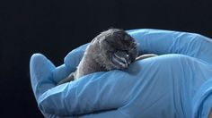 http://katu.com/news/local/penguin-chick-hatches-at-oregon-zoo
