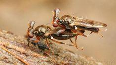 Mosca de ojos pedunculados o Sphyracephala europaea. Tienen las antenas en medio de los pedúnculos.