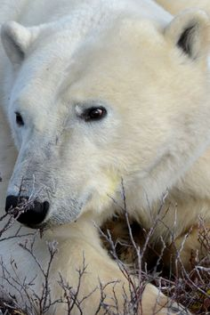 Churchill, Manitoba, Canada  The Polar Bear Capital of the world.