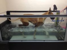 Our new water treadmill! Great exercise and rehab at the HAH.