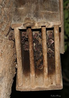 """...""""The bat-house runneth over~!""""  Mexican free-tailed bat..."""