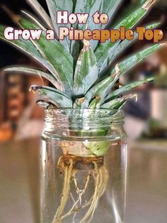 Rooting and growing pineapple tops is easy. Did you know that the leafy top of store-bought pineapples can be rooted and grown as an interesting houseplant?