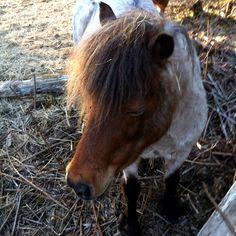 Mini horse #horse