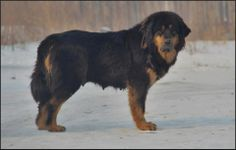 Төвд Банхар Tibetan Mastiff