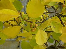 Beautiful yellow leaves of Autumn
