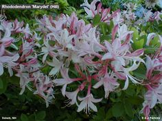 Rhododendron 'Marydel' (Hill) in Salem, NH