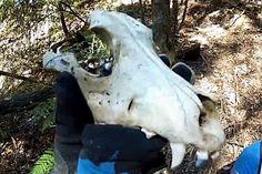 Suspected tasmanian tiger skull found