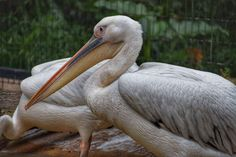 #animal #animal ph #bird #pelican #photography #san diego #san diego zoo #wild life #wildlife #wildlife photography #zoo
