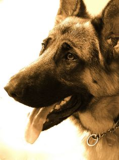 Beautiful, incredibly intelligent and kind natured dogs. Quickly becoming my favorite of all dog breeds.  #german shepherd #dog