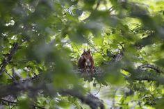 En la imagen de nuestro amigo y colaborador Estalayo, un esquilo, roedor típico de climas tropicales, pero también en algunos climas fríos como el nuestro, que se alimenta de semillas, insectos y frutas, sobre todo, de bellotas.