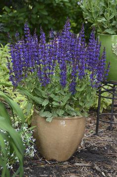 Color+Spires®+'Violet+Riot'+-+Perennial+Salvia+-+Salvia+nemorosa