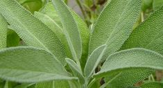 Sage-Salvia officinalis seeds, plants for sale Sage Herb, Sage Plant, Plant Leaves, Salvia Officinalis, Herbal Plants, Medicinal Plants, Herbal Leaves, Herb Seeds, Healing Herbs