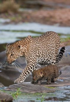ღღ Leopard and Her Cub. Leopards are fiercely defending their cubs, and have one of the strongest bonds of motherly love in Nature. I Love Cats, Big Cats, Cats And Kittens, Cats Meowing, Animals And Pets, Baby Animals, Cute Animals, Wild Animals, Beautiful Cats