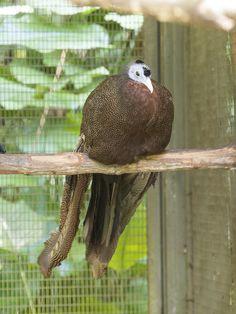Great Argus Pheasant (f)