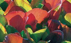 'Admiral' gilt als eine der schönsten herbstfärbenden Sorten mit leuchtend orange- bis kupferroten Blättern