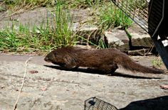 The Wildlife Rehabilitation team are delighted to report that this Water Mongoose was recently released back into the wild following some intensive rehabilitation and treatment here at the clinic. It was initially very touch and go, but we were thankfully able to save this little girl's hind legs after she sustained some severe injuries during a dog attack
