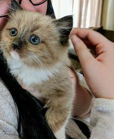 Our new ragdoll kitten Berlioz http://ift.tt/2m2xaDb