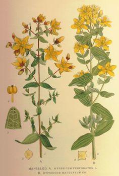 Hypericum perforatum - common st. johns wort (dzirawiec zwyczajny)