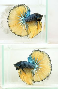 bettas - Google Search