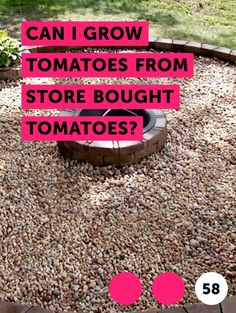 Learn Can I Grow Tomatoes From Store Bought Tomatoes? Growing Tomatoes From Seed, Growing Tomato Plants, Varieties Of Tomatoes, Grow Tomatoes, Growing Seeds, Garden Seeds, Planting Seeds, Tomato Farming, Tomato Seeds