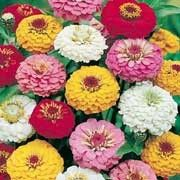 Zinnia elegans Oklahoma Series (Zinnia 'Oklahoma') Click image to learn more, add to your lists and get care advice reminders each month.