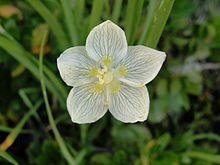 Order:Celastrales Family:Celastraceae Genus:Parnassia Species:P. californica