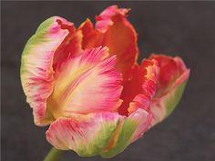 Parrot Tulip Mix