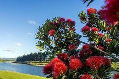 Pohutukawa tree along the Manawatu River walkway Palmerston North