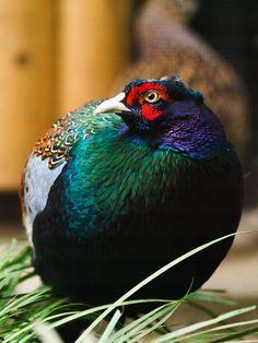 nyomblr Beautiful Birds, Animals Beautiful, Cute Animals, Rare Birds, Exotic Birds, Tropical Birds, Colorful Birds, Funny Birds, Pheasant
