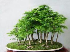 Bonsaï forest #bonsaitrees