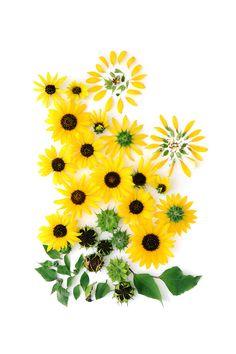 wild sunflower (mary jo hoffman)