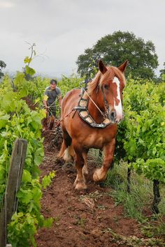 Bordeaux Estate Makes Fine Wines Naturally Wine Club Membership, Wine Vineyards, Wine Education, Wine Reviews, Draft Horses, Fine Wine, Wine Country, Beautiful Horses, Grape Vines