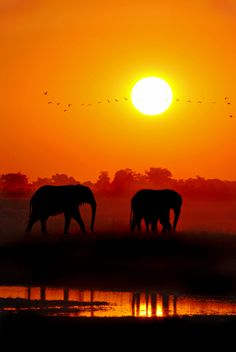 Elephants at Sunset, Chobe National Park, Botswana