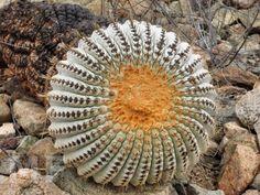 Copiapoa gigantea nördlich Taltal