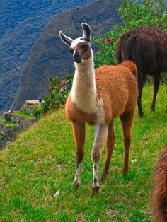 Llama a partir do site do Inca antiga de Machu Picchu, Peru por Gudrun Heike Alpacas, Machu Picchu, Spirit Animal Totem, Animal Totems, Animals Beautiful, Cute Animals, Equador, Inca, Mundo Animal