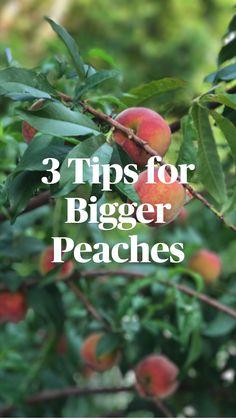 Fruit Plants, Fruit Garden, Edible Garden, Organic Fruit Trees, Tree Support, Growing Fruit Trees, Shade Garden Plants, Peach Trees, Tree Care