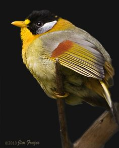 Silver-eared Mesia by SARhounds