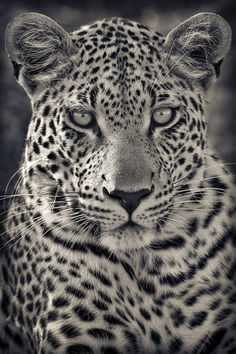 funnywildlife - Portrait of A Predator! Motswari Private Game Reserve, South Africa by Mario Moreno If yo - Leopard Tattoos, Animal Tattoos, Beautiful Cats, Animals Beautiful, Animals And Pets, Cute Animals, Gato Grande, Tier Fotos, Predator