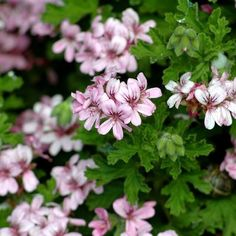 Base Formula Geranium - one of the best loved essential oils! It is an emotionally soothing and balancing oil that has an affinity with the female system. It has anti-depressant qualities, helps to regulate hormones, helps to detoxify the lymphatic system and eliminate cellulite. It also makes a good deodorant and is valuable in skincare particularly for balancing sebum production.