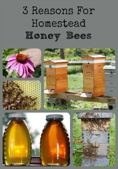 Each year, we find that the honey bees have made a significant contribution to our farm - here are 3 reasons you might want homestead honey bees too.