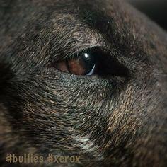 #bullies #bullterrier #xerox