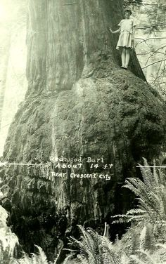 A wide burl at the base of a giant redwood tree near Crescent City, CA. Vintage Pictures, Old Pictures, Old Photos, Giant Tree, Big Tree, Redwood Burl, Unique Trees, Old Trees, All Nature